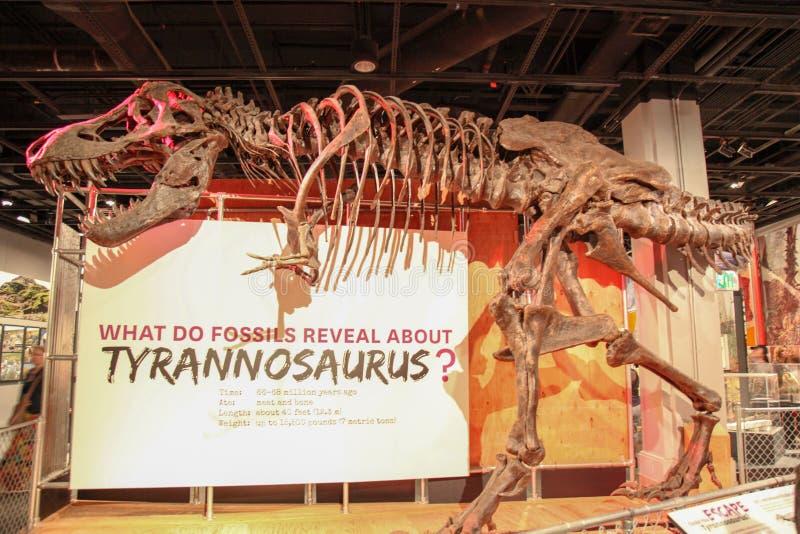 DC ВАШИНГТОНА, США - 14-ОЕ ИЮНЯ 2018: Тиранозавр ископаемых на Национальном музее Вашингтоне d C , США стоковая фотография