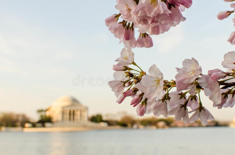 DC cherry blossoms and Jefferson Memorial royalty free stock images