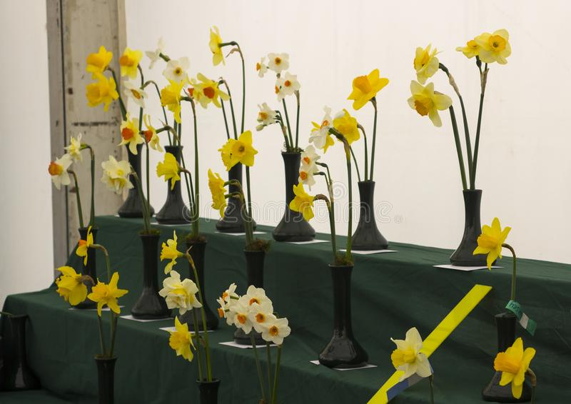 A daffodil bloom display stand in the Junior School section of the annual Spring Festival held in Barnett`s Demesne Belfast N royalty free stock images