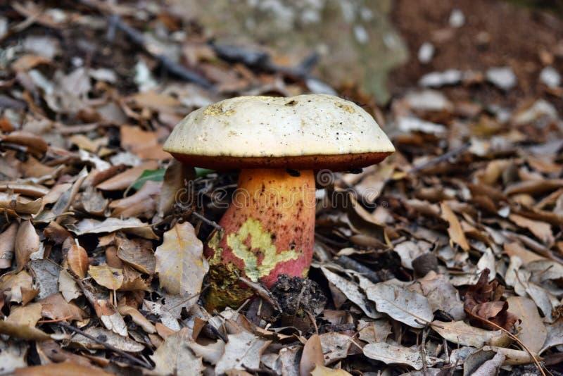 Ddevil的牛肝菌,牛肝菌蕈类satanas采蘑菇 库存图片