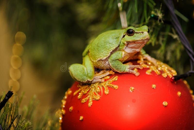 De árvore da rã do Hyla do arborea arboreaon verde europeu de Rana anteriormente um brinquedo do Natal fotografia de stock