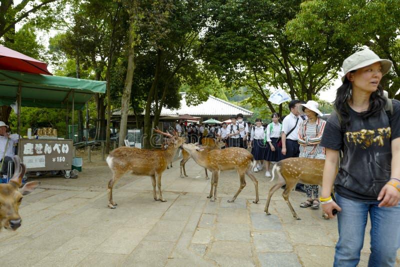 De ?lskv?rda deersna g?r p? jordningen i Nara Park Nara Park ?r en allm?nhet parkerar lokaliserat i staden av Nara, Japan fotografering för bildbyråer