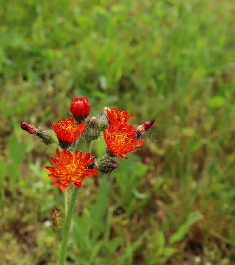 De älskvärda orange blommorna av aurantiacumen för Pilosellaaurantiacahieraciumen också som är bekant som orange Hawkweed och räv royaltyfria foton