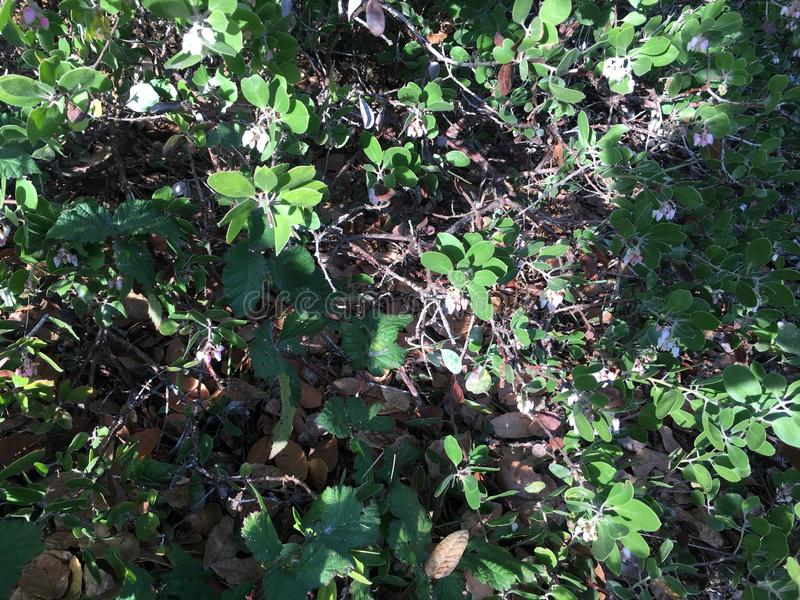De één bladui, alliumunifolium stock fotografie