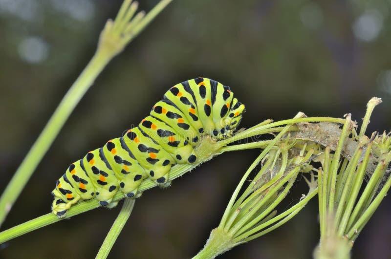 ¡De Ð aterpillar del swallowtail 5 fotografía de archivo libre de regalías