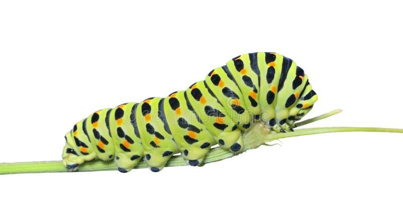 ¡De Ð aterpillar del swallowtail 15 fotografía de archivo