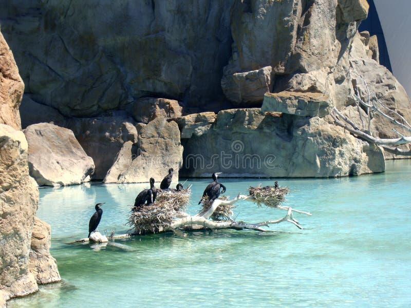 De aalscholvers hebben een rust op houten eiland stock afbeelding
