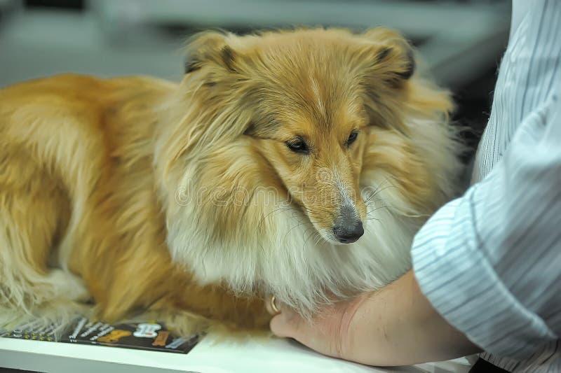 De aanbiddelijke herdershond van Shetland Dit ras is ook genoemd geworden sheltie stock foto's
