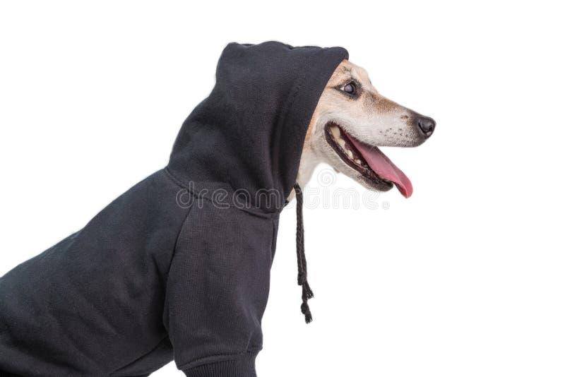 De aanbiddelijke het Glimlachen hoodie terriër van hondjack russell muzle charmante het profielmening van de voorzijde van het ga royalty-vrije stock foto's