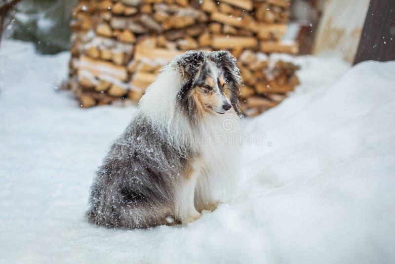 De aanbiddelijke zitting van de sheltiehond op de witte sneeuw in de yard stock foto