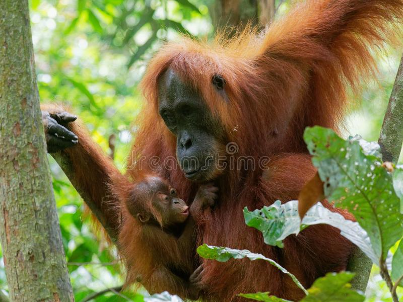 De aandachtige Wildernis van Orang-oetanutan Sumatra royalty-vrije stock afbeeldingen