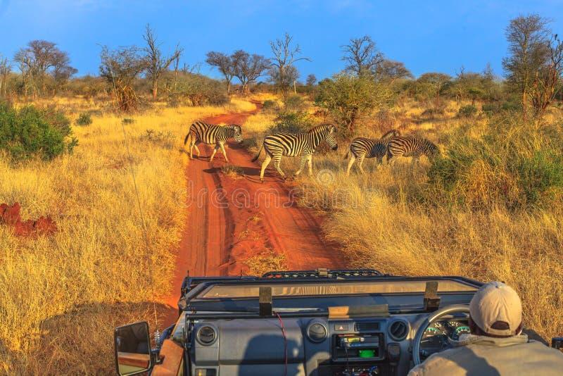 De Aandrijving van het Zebrasspel royalty-vrije stock foto's