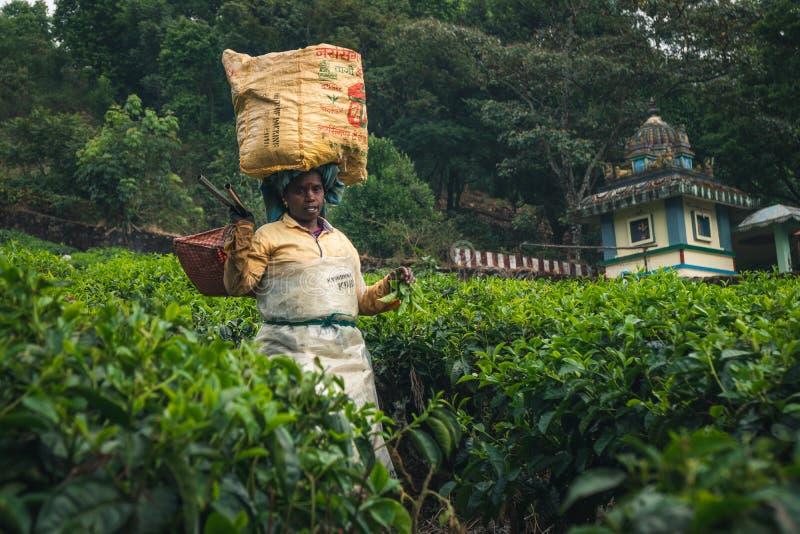 De aanplanting Kerala groen India van de Munnarthee stock fotografie