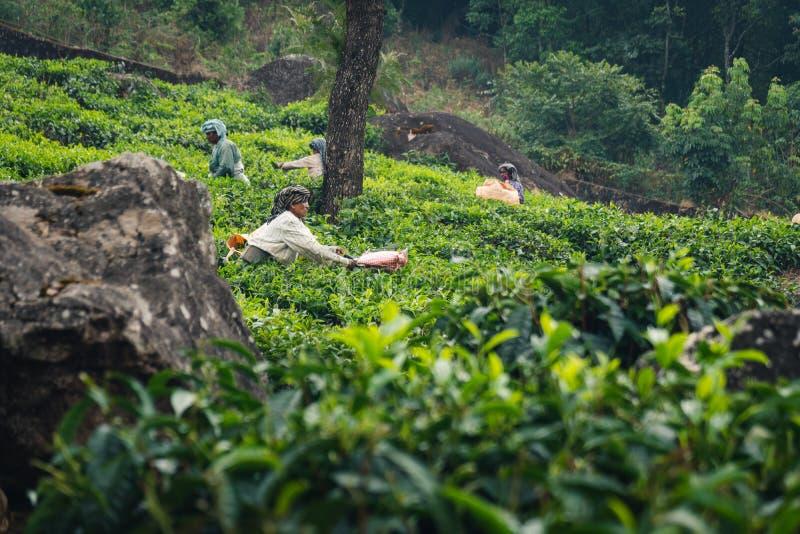 De aanplanting Kerala groen India van de Munnarthee royalty-vrije stock fotografie