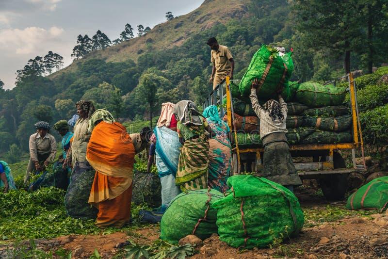 De aanplanting Kerala groen India van de Munnarthee stock foto