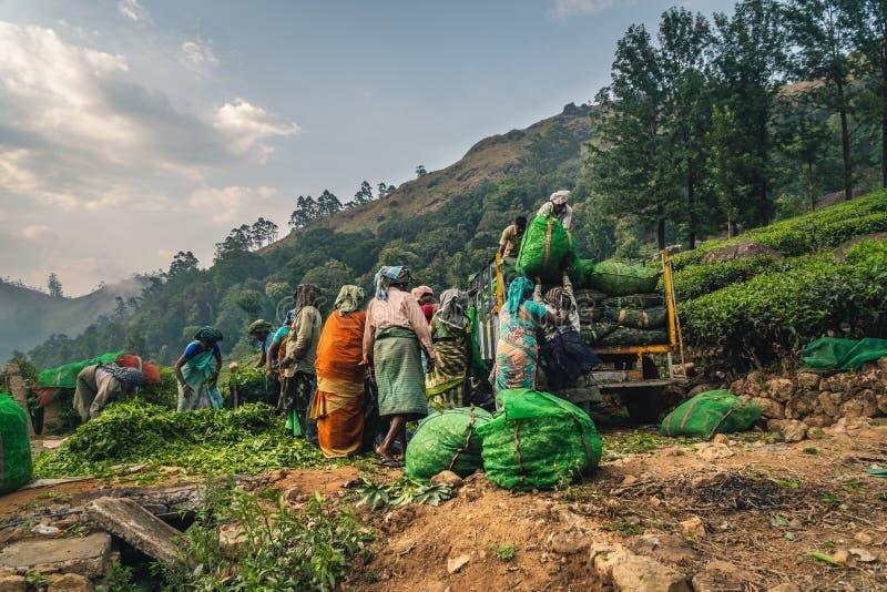 De aanplanting Kerala groen India van de Munnarthee royalty-vrije stock foto