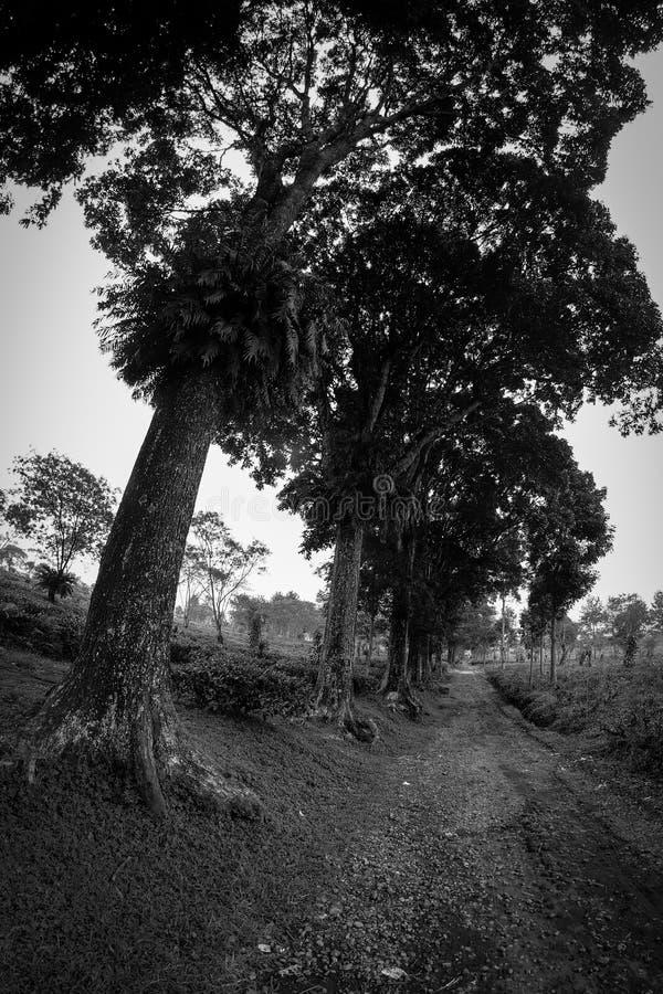 De Aanplanting Malang, Indonesië van de Wonosarithee stock afbeelding