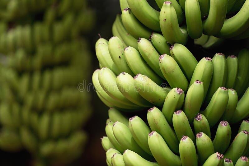 De aanplanting van banaanpalmen, bossen van groene bananen op een tak van banaanpalm stock foto's
