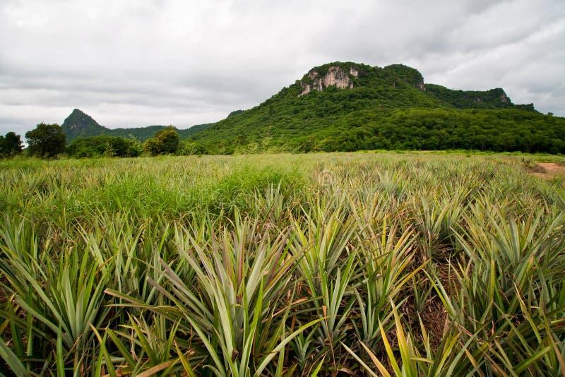 De aanplanting van de ananas royalty-vrije stock foto