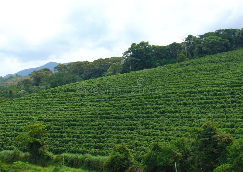De aanplanting van de koffie stock foto