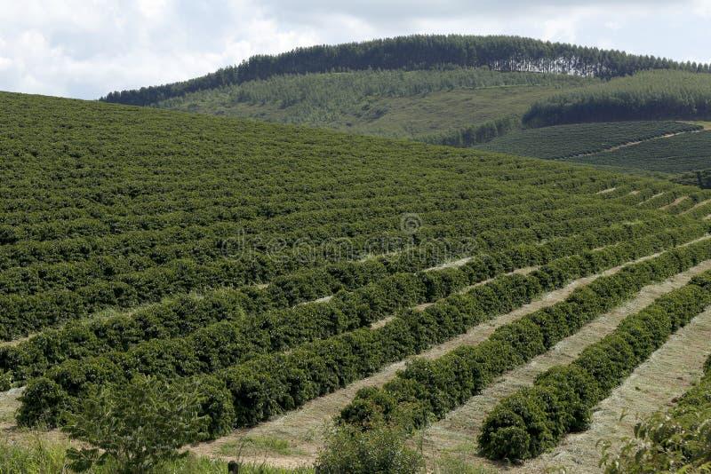 De aanplanting van de landbouwbedrijfkoffie in Brazilië royalty-vrije stock afbeelding