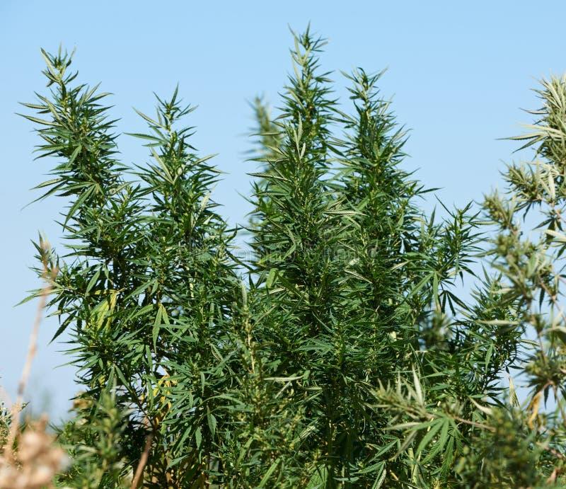 De aanplanting van de marihuana royalty-vrije stock afbeelding