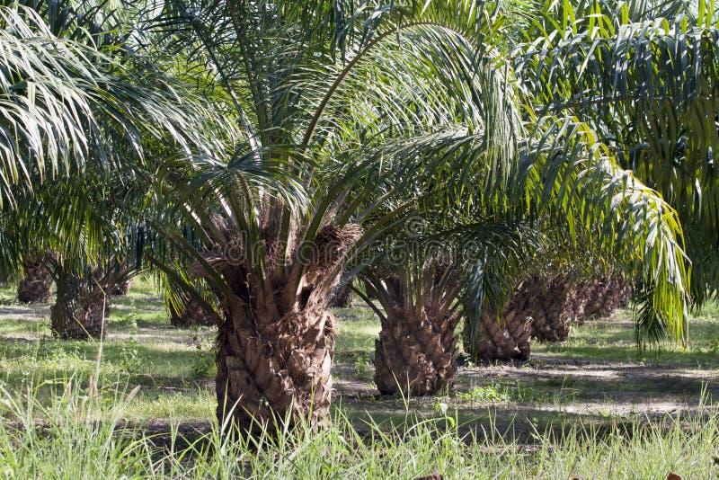 De Aanplanting van de Palm van de olie stock afbeelding