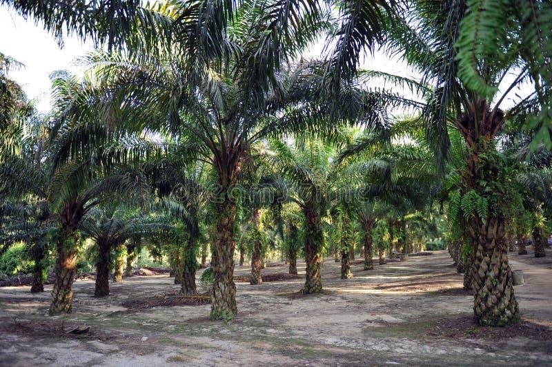 De Aanplanting van de palmolie stock afbeeldingen