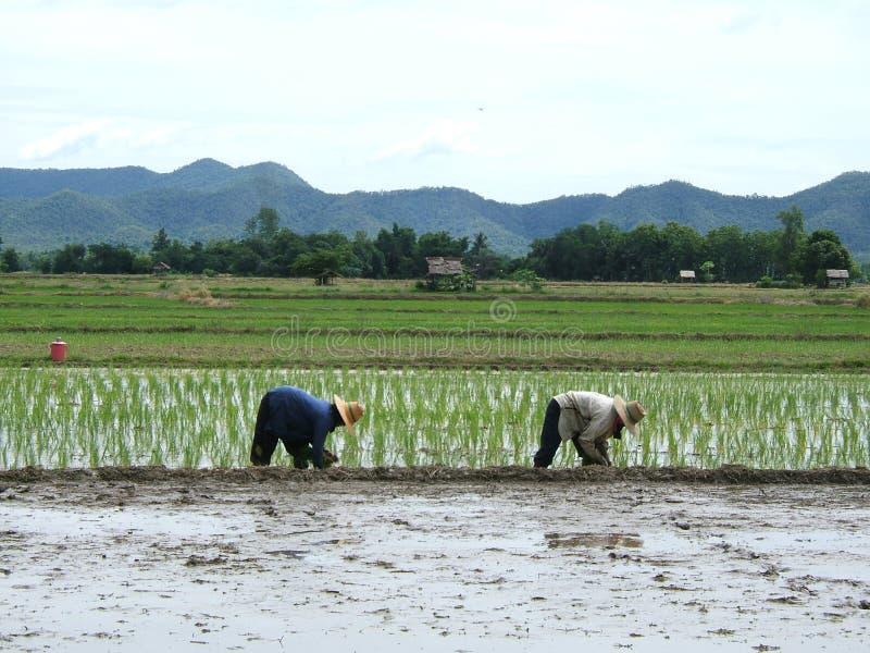 De aanplanting van de rijst stock afbeeldingen