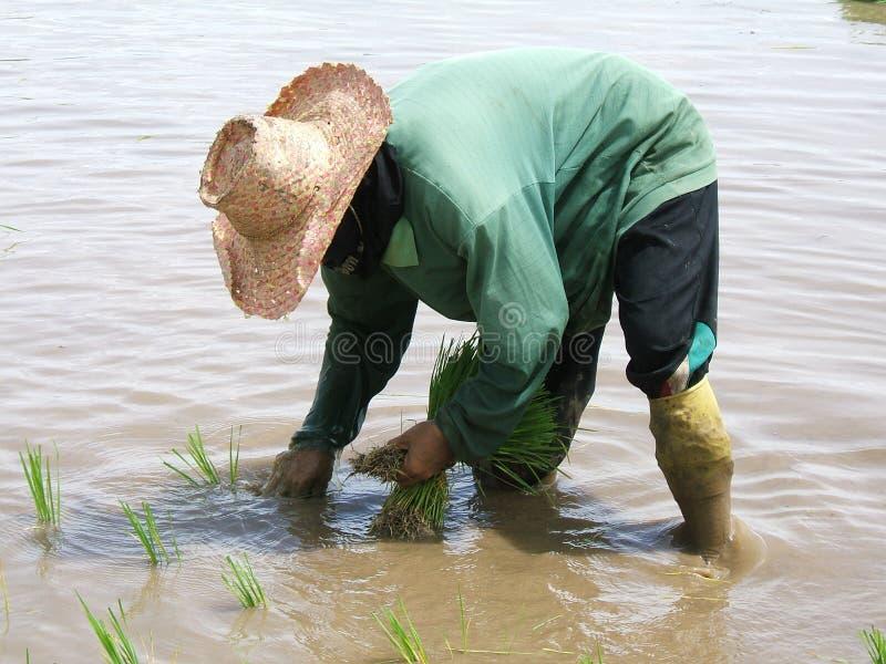 De aanplanting van de rijst royalty-vrije stock fotografie