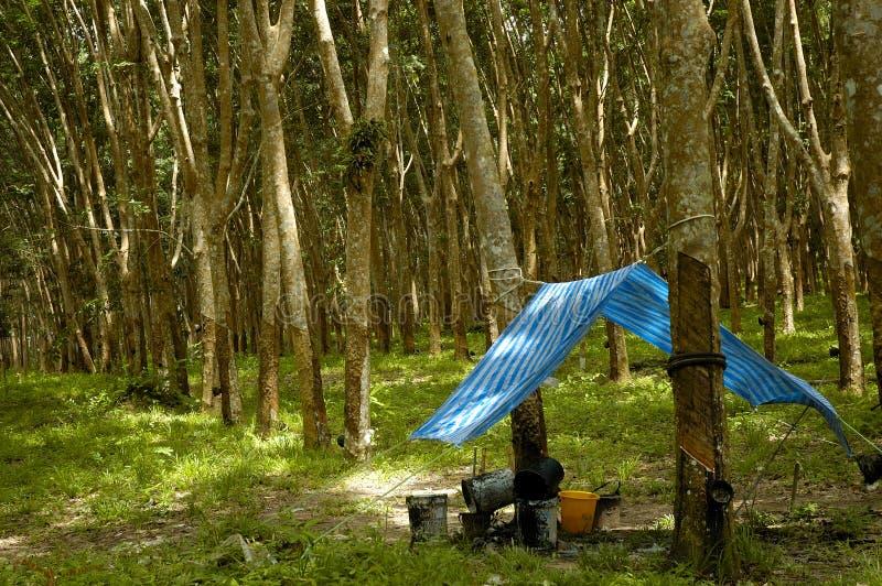 De Aanplanting van de rubberboom royalty-vrije stock fotografie