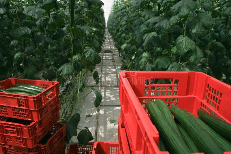 De aanplanting van de serrekomkommer stock afbeelding