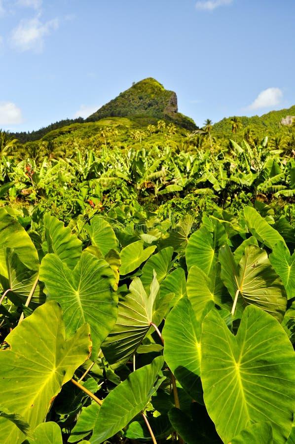 De aanplanting van de taro op een eiland in de Stille Oceaan stock fotografie