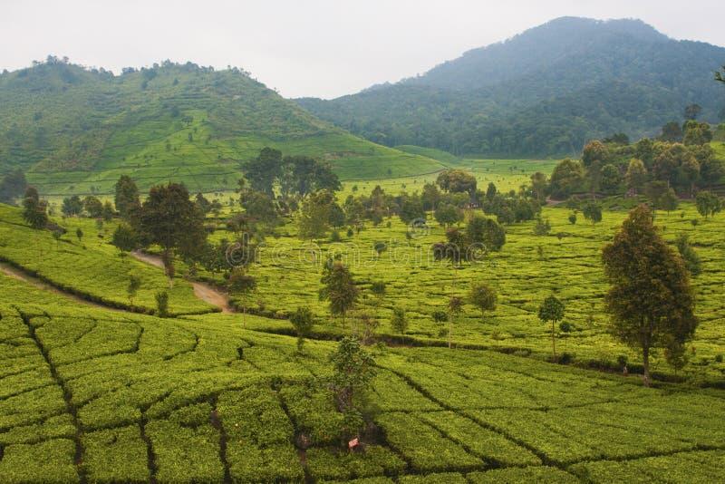 De Aanplanting van de thee in Bandung stock foto's