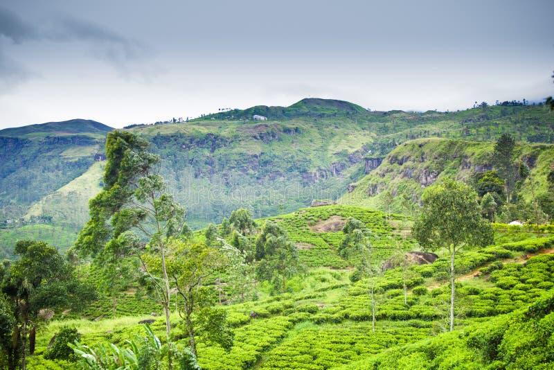 De aanplanting van de thee in Ceylon stock fotografie