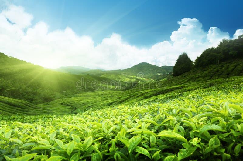 De aanplanting van de thee, Maleisië stock foto's