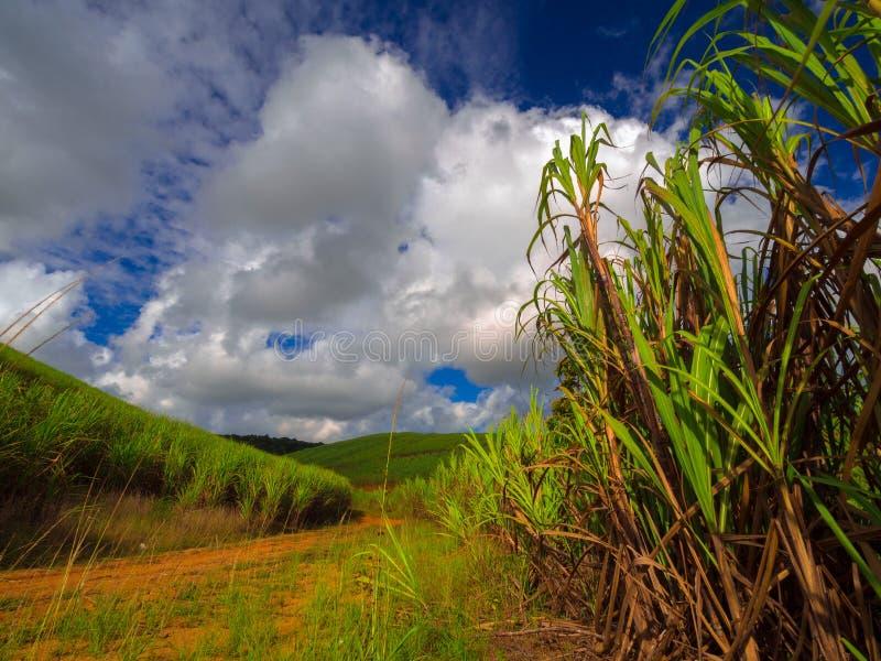 De aanplanting van het suikerriet stock afbeelding