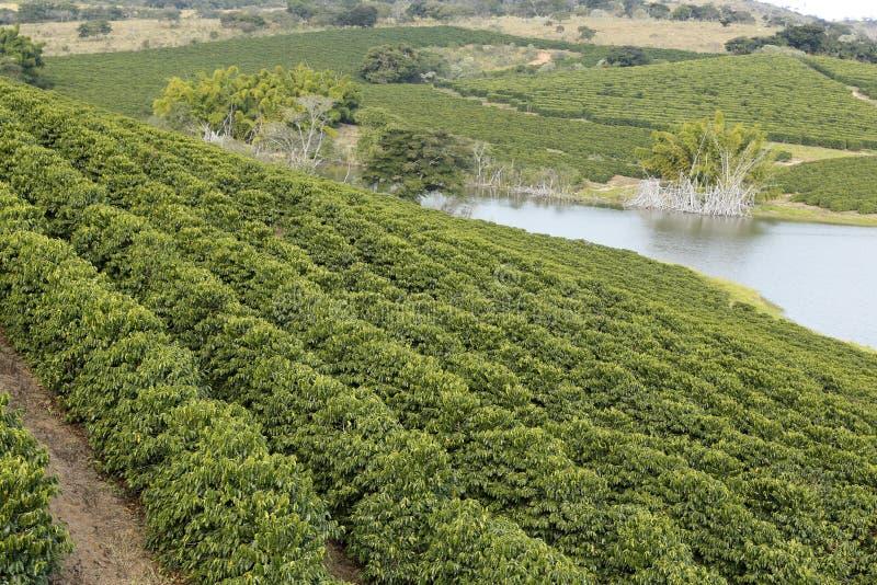 De aanplanting van de landbouwbedrijfkoffie in Brazilië royalty-vrije stock afbeeldingen