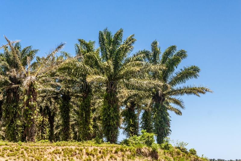 De Aanplanting van de oliepalm stock afbeelding