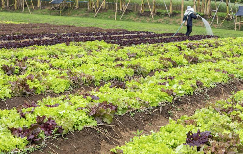 De aanplanting van de saladesla stock foto