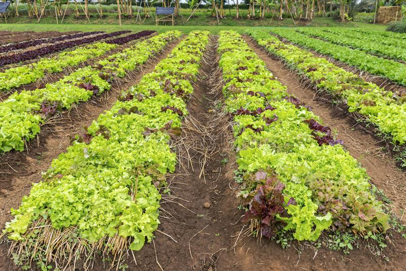 De aanplanting van de saladesla stock afbeelding