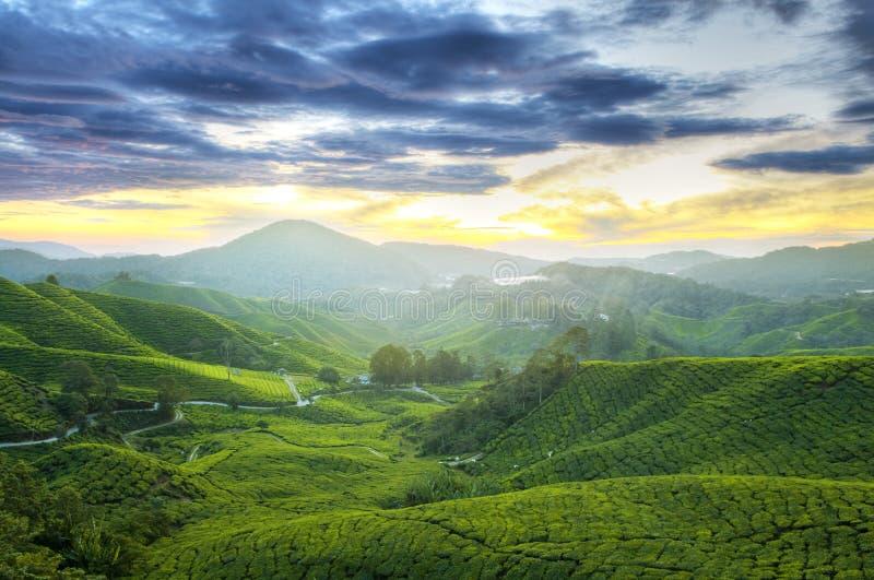 De Aanplantingen van de thee stock fotografie