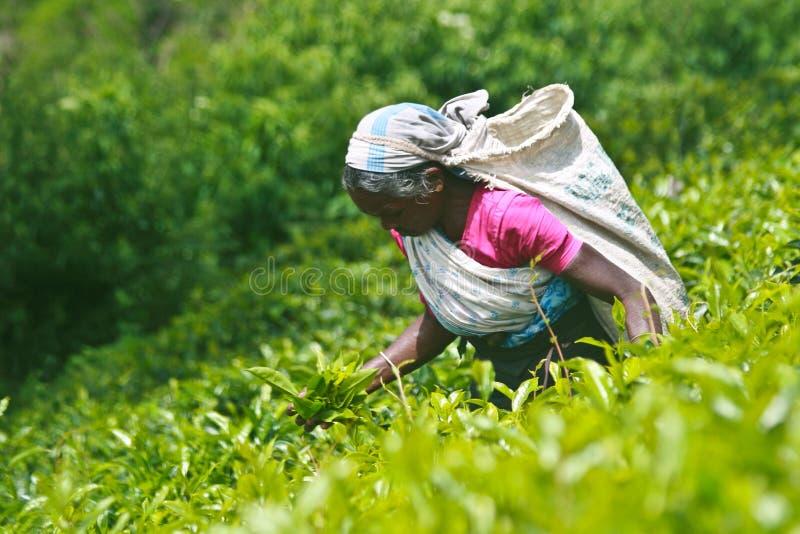 De aanplantingen van de thee royalty-vrije stock foto's
