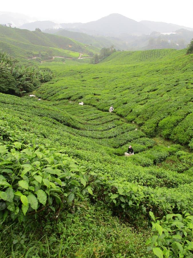 De Aanplantingen van de thee in Maleisië stock afbeeldingen