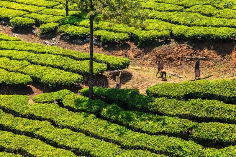 De aanplantingen van de thee in Munnar, Kerala, India stock fotografie