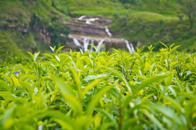 De aanplantingen van de thee in Sri Lanka royalty-vrije stock foto