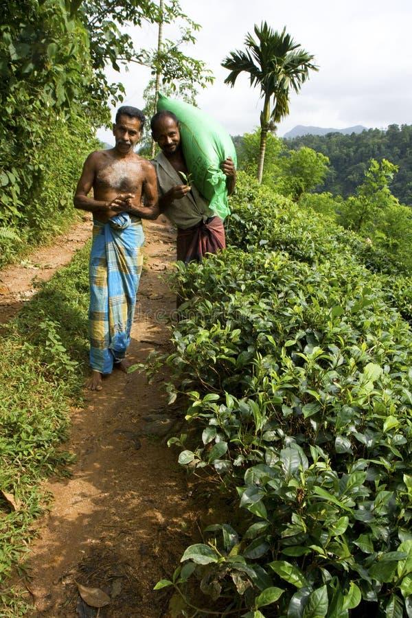 De aanplantingsarbeiders van de thee in Sri Lanka stock foto
