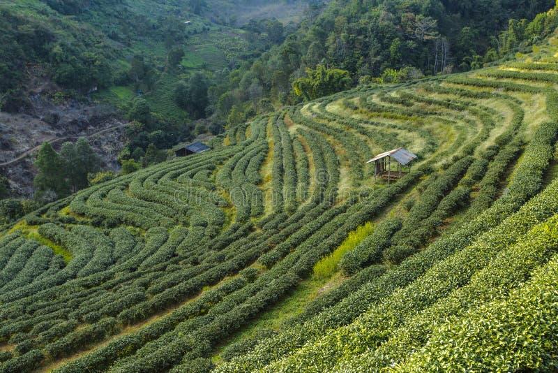 De aanplantingslandschap van de thee royalty-vrije stock afbeelding