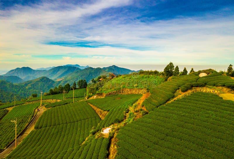 De aanplantingslandschap van de thee stock fotografie