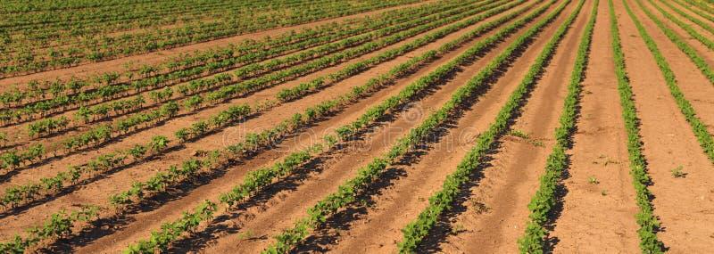 De aanplantingsrijen van het sojaboongewas op gebied royalty-vrije stock afbeeldingen